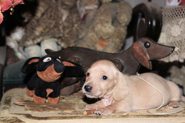 AKC Mini Texas Dachshund English Cream Puppies
